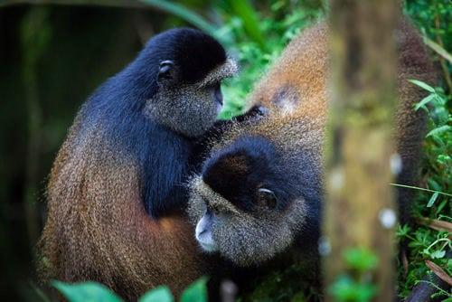 Руанда дахь алтан сармагчин-явган аялал-500x334