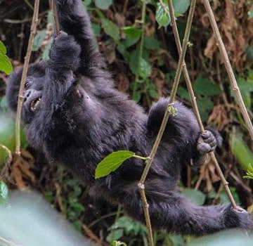 Puppelchen-Gorilla-Ruanda
