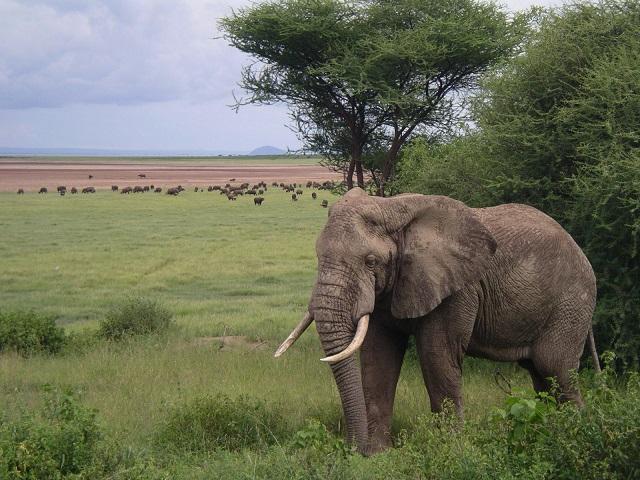Afrika-elefanto