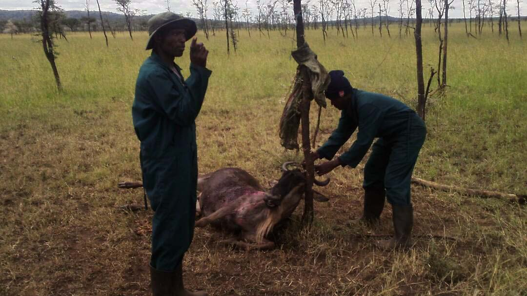 Wildebeest-caught-in-snares-in-Tanzania