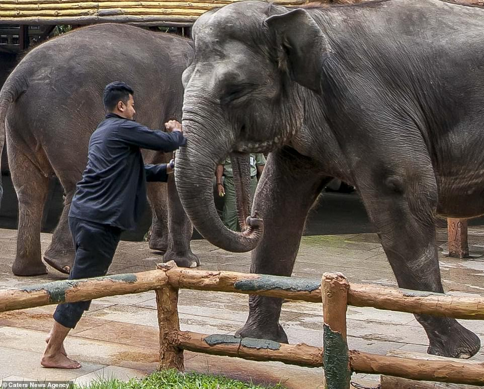 elephant-being-stabbed