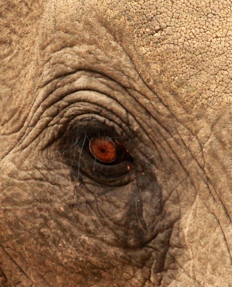 Elefante-close-up-3-Francis-Garrard