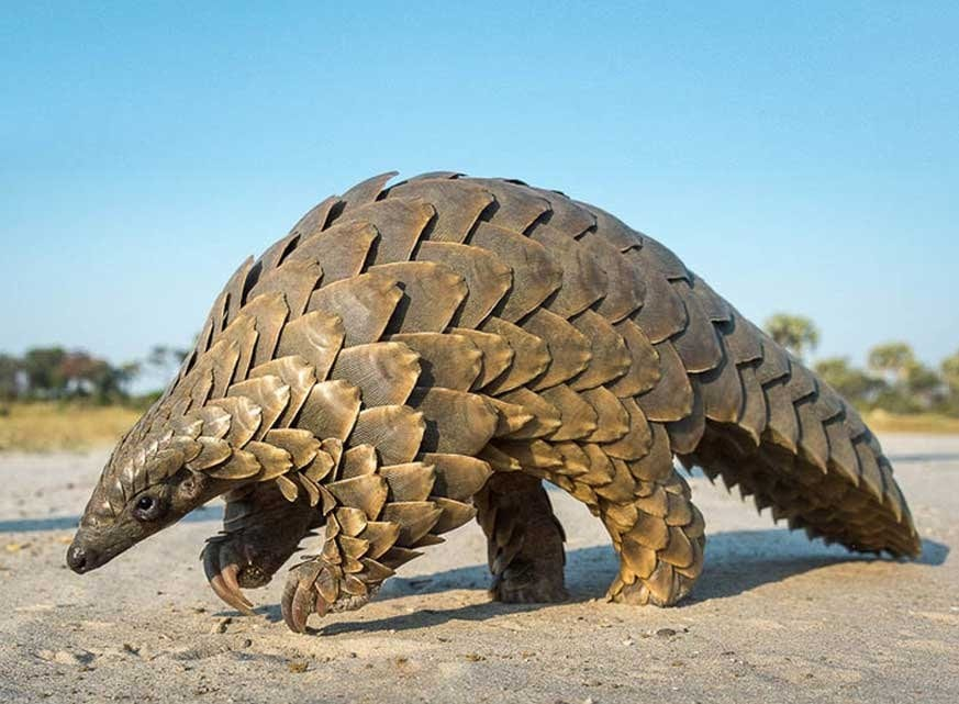 Ugandan conservationists capture rare footage of elusive giant pangolin