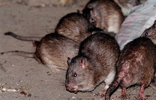 Rats on the rise in Barbados: Ministry steps in