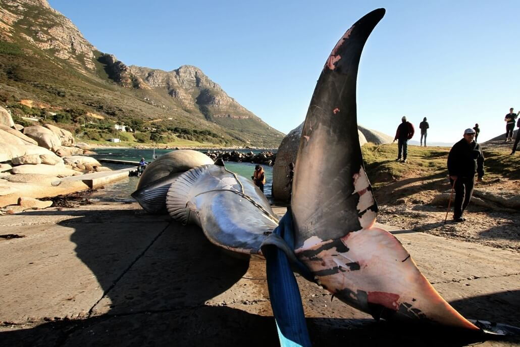 Dead whale highlights major faults with octopus fishing industry in False Bay