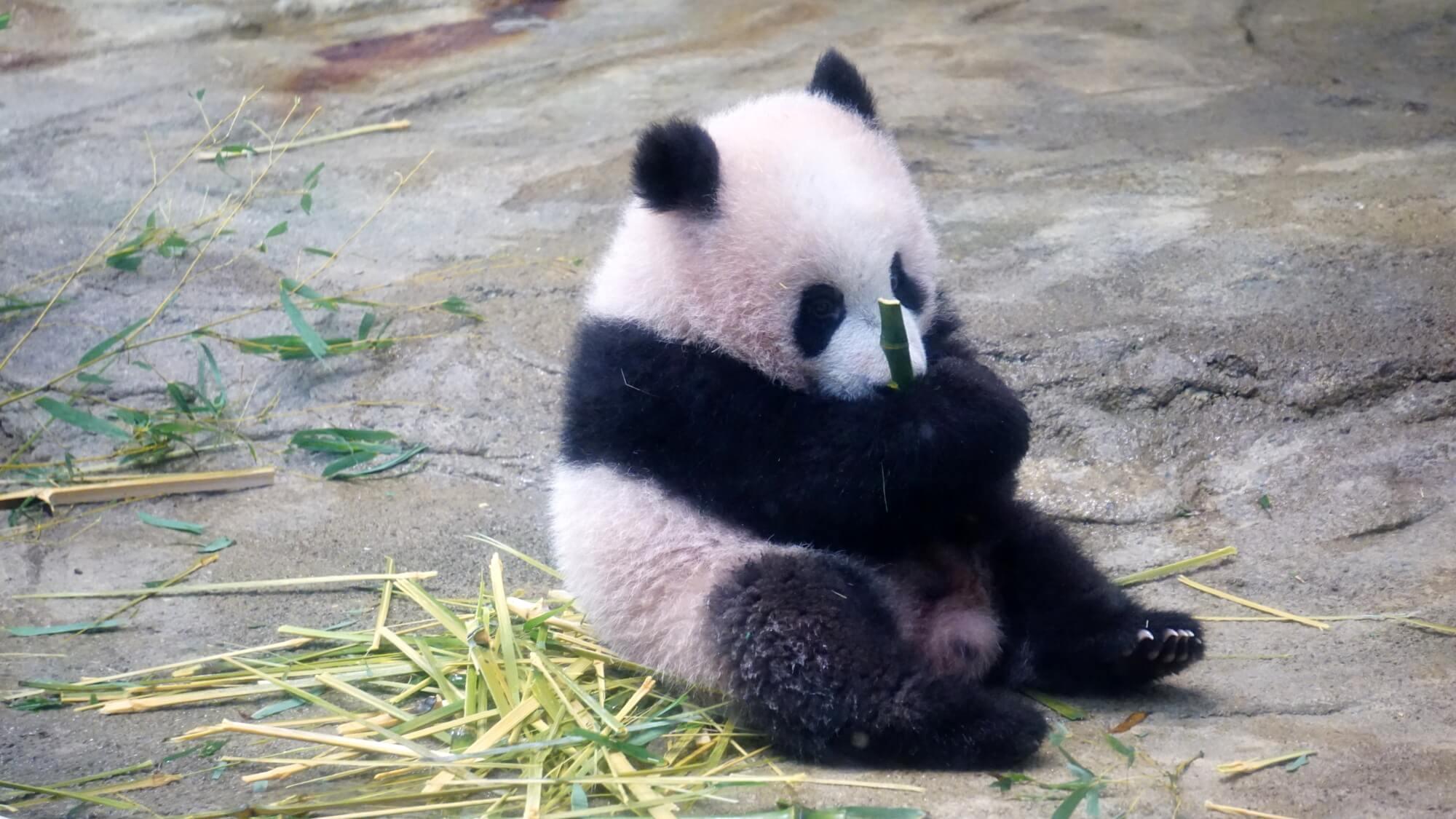 n-panda-a-20171219