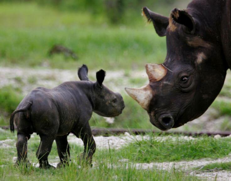 црно-носорог