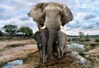 Пооштрена је контрола продаје афричких слонова у зоолошким вртовима ван континента