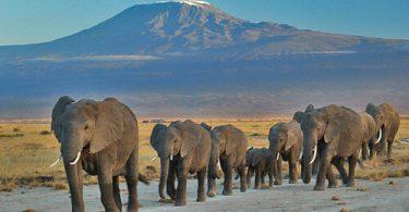 Փղերը երկքաղաքացիներ են Քենիայում և Տանզանիայում: