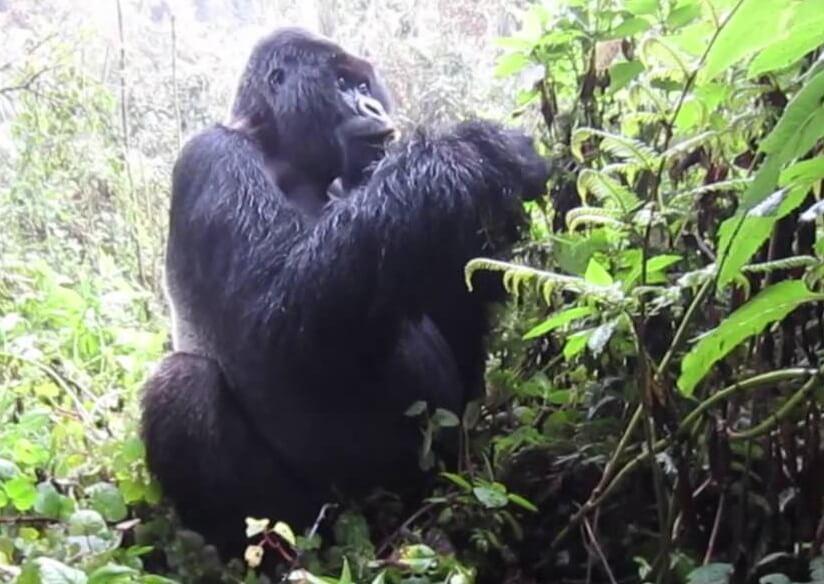 All About Mountain Gorilla Trekking – Guide, Tips To Trek Gorillas