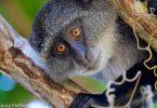 O turismo de primatas impulsiona a economia de Uganda em US $ 16 milhões a cada ano