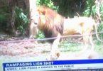 Leão renegado morto em acidente em Uganda