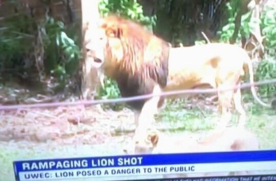 شیر Renegade در یک سانحه عجیب در اوگاندا کشته شد