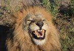Замбийските общности спират лова на трофеи в спор за туристическите такси