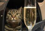 Le propriétaire d'un gros chat russe trompe une compagnie aérienne avec un `` chat double ''