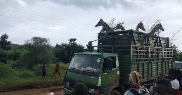 Die Umsiedlung von Giraffen fördert den Tourismus im Wildreservat Uganda