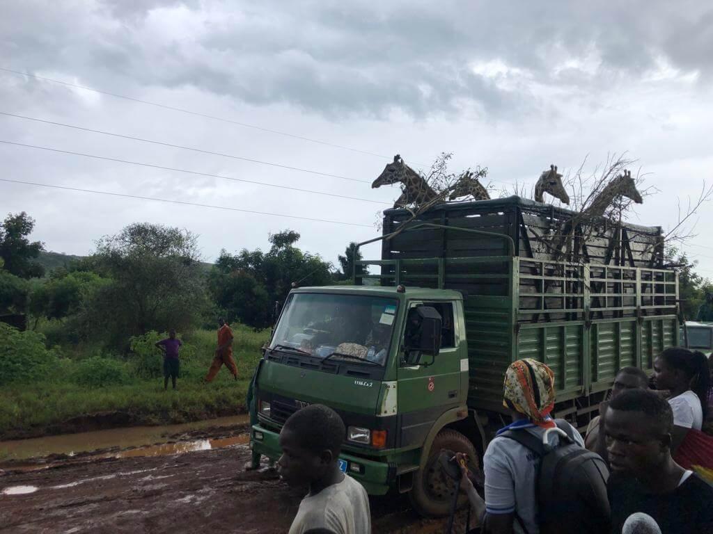 جابجایی زرافه باعث افزایش گردشگری در ذخیره گاه حیات وحش اوگاندا می شود