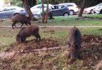 خوکهای وحشی به حیفا اسرائیل حمله می کنند