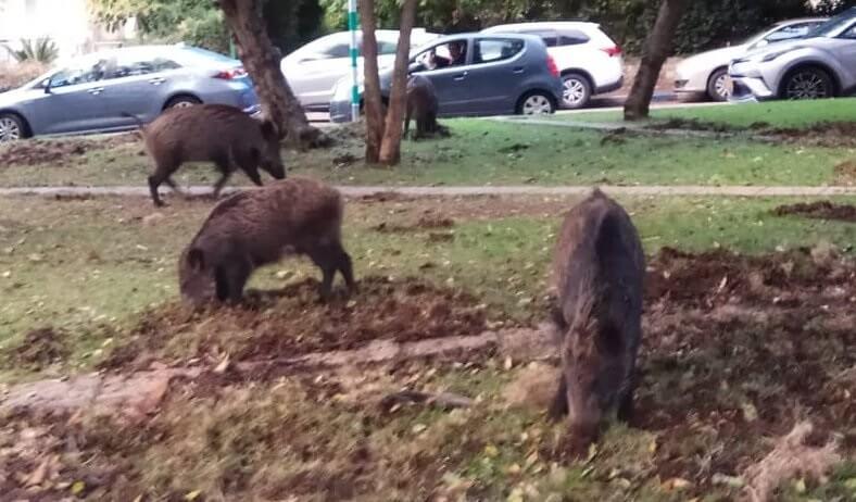 Wildschweine fallen in Israels Haifa ein