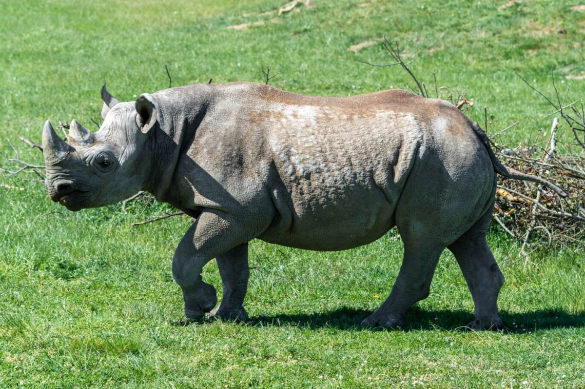 World's oldest black Rhino dies in Tanzania