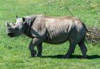 O rinoceronte negro mais antigo do mundo morre na Tanzânia