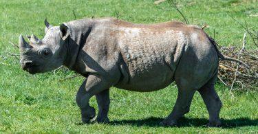 Nejstarší černý nosorožec na světě zemřel v Tanzanii