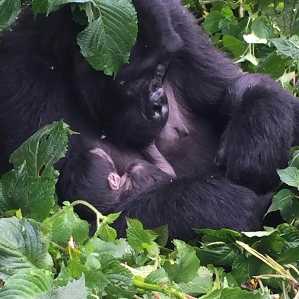 Gorilla Tourism: A Transformative Force Fueling Uganda Development