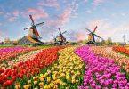 Nemo plus tulips, molendina, et boves, in Hollandiam?