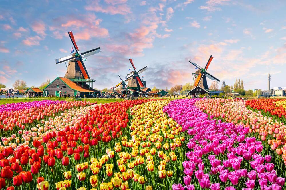 No more tulips, windmills and cows for visitors in Holland?