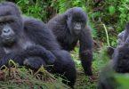 Vodič za planinarenje gorilom u Africi