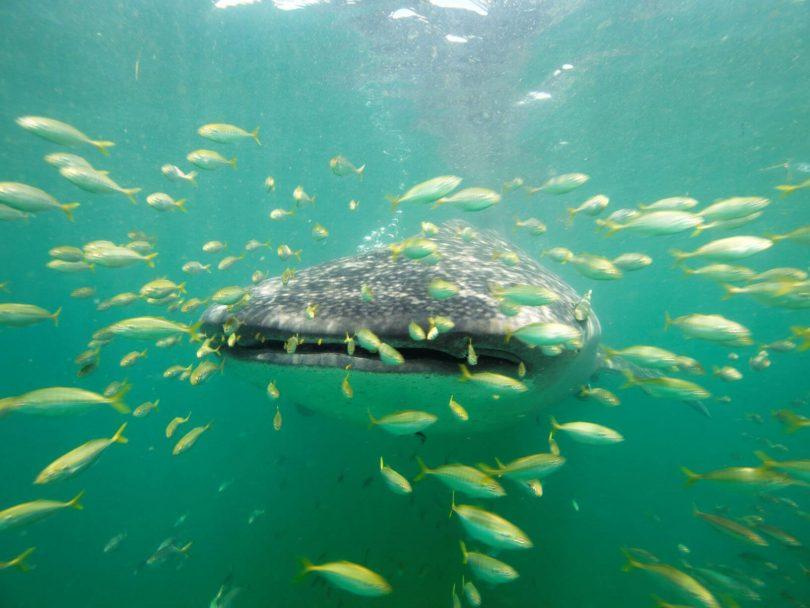 WHALE SHARK فصل یکی از بهترین موارد در جزیره مافیا ، تانزانیا