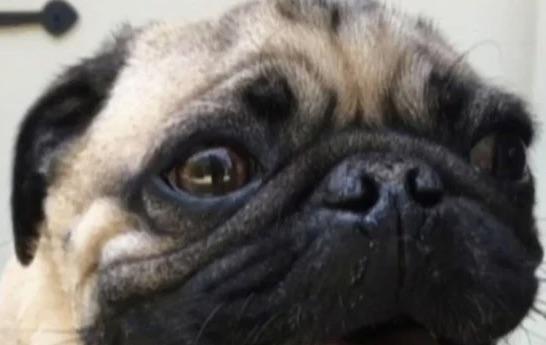 Prvi američki pas s dijagnozom koronavirusa