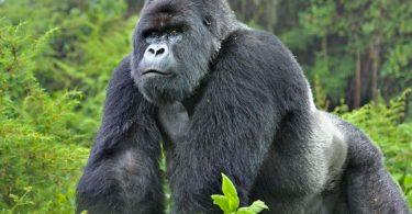 Can Mountain Gorillas and Chimpanzees get Coronavirus?