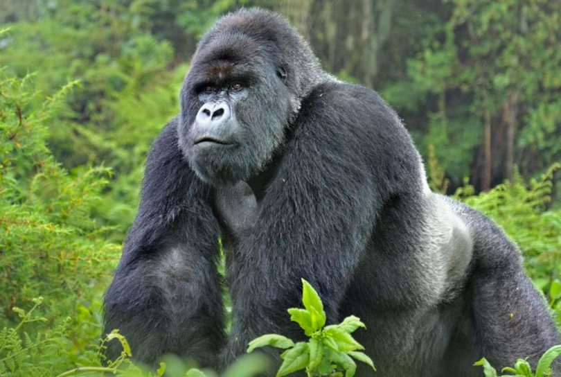 Kan bjerggorillaer og chimpanser få Coronavirus?