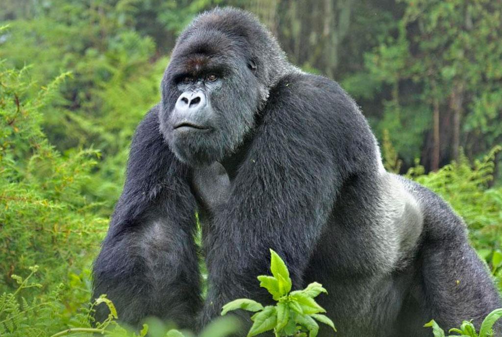 האם גורילות ההר והשימפנזים עלולים לחלות בווירוס הקורונה?