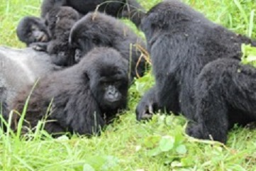 Mountain Gorilla Family Ends Their Vacation in Uganda