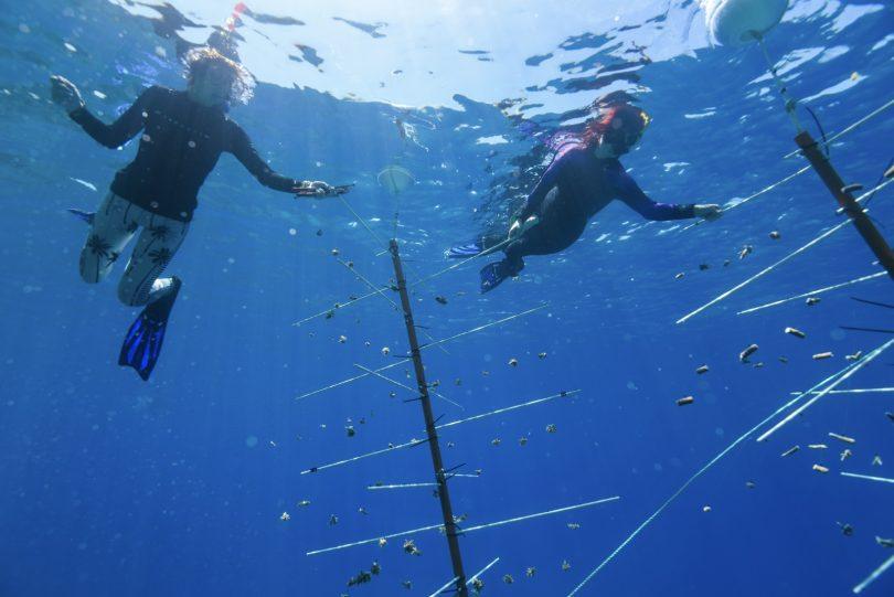 Ochrana námořní turistiky: Potápěči při práci na korálových školkách Velkého bariérového útesu