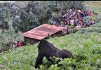 O rastreamento de gorilas e chimpanzés permanece fechado para turistas