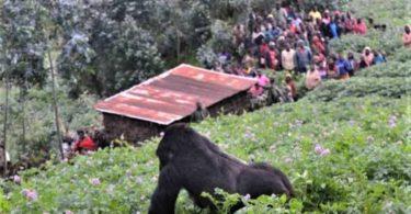 ゴリラとチンパンジーの追跡は観光客に閉鎖されたままです