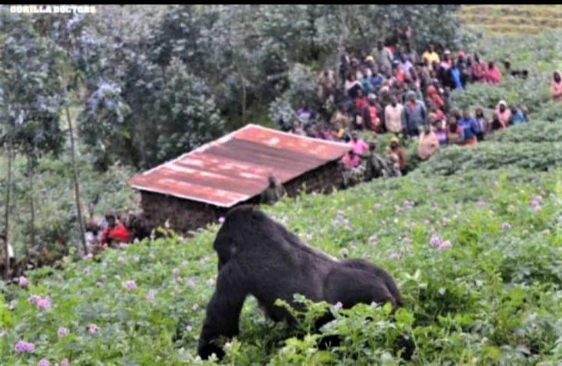 ردیابی گوریل و شامپانزه برای گردشگران بسته است