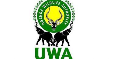Ugandan luonnonsuojeluviranomainen pidättää neljä salametsästäjää gorillan hopeakuollessa