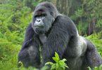 Neien Tourismus: E Charta-Fluch op Rwanda fir mam Mountain Gorillas ze feieren