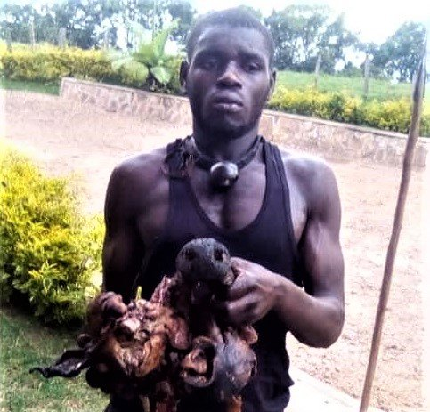 Uganda Wildlife Authority arrests four poachers in silverback gorilla death
