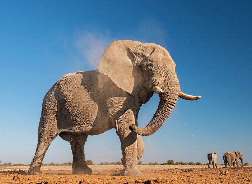 روز جهانی فیل در سال 2020 در زمان های نامشخص برای بزرگترین پستاندار خشکی قرار دارد