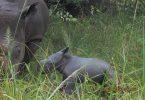 صندوق وحيد القرن في أوغندا يحتفل بالولادة الجديدة