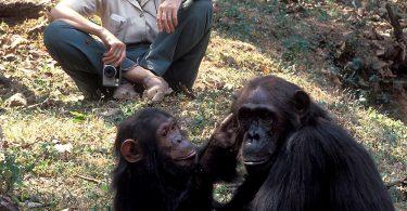 アフリカはチンパンジーの研究にXNUMX年を費やしました