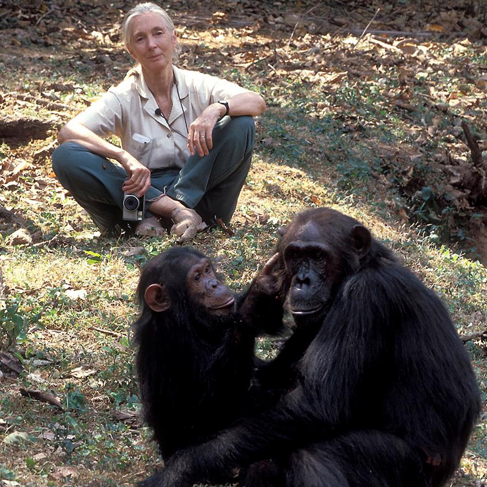 Africa n'agha iri isii nke Chimpanzee nyocha