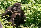 COVID -19 के बावजूद Bwindi जीवन का उत्कर्ष