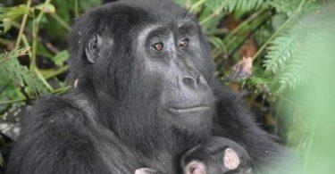 6週間でウガンダでXNUMX番目のゴリラの誕生