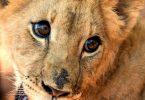 Presiden Afrika Selatan Ramaposa mengajukan petisi untuk menghentikan pembiakan kucing besar